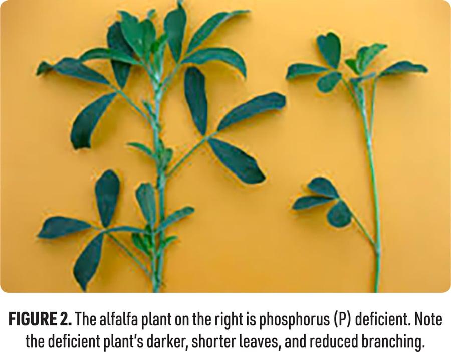 Figure 2: comparing phosphorus-deficient alfalfa to normal alfalfa