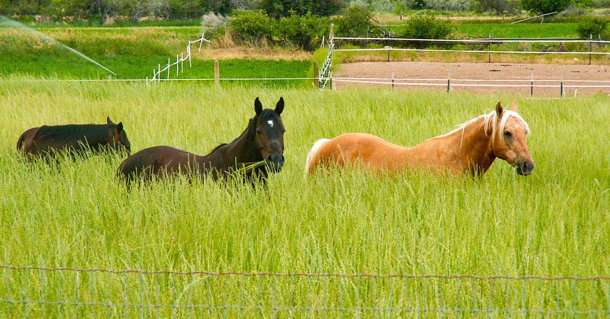 horses in pasture grass