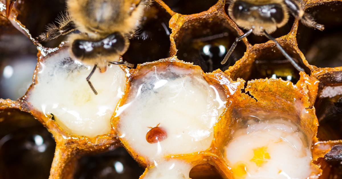 varroa mites in a bee colony