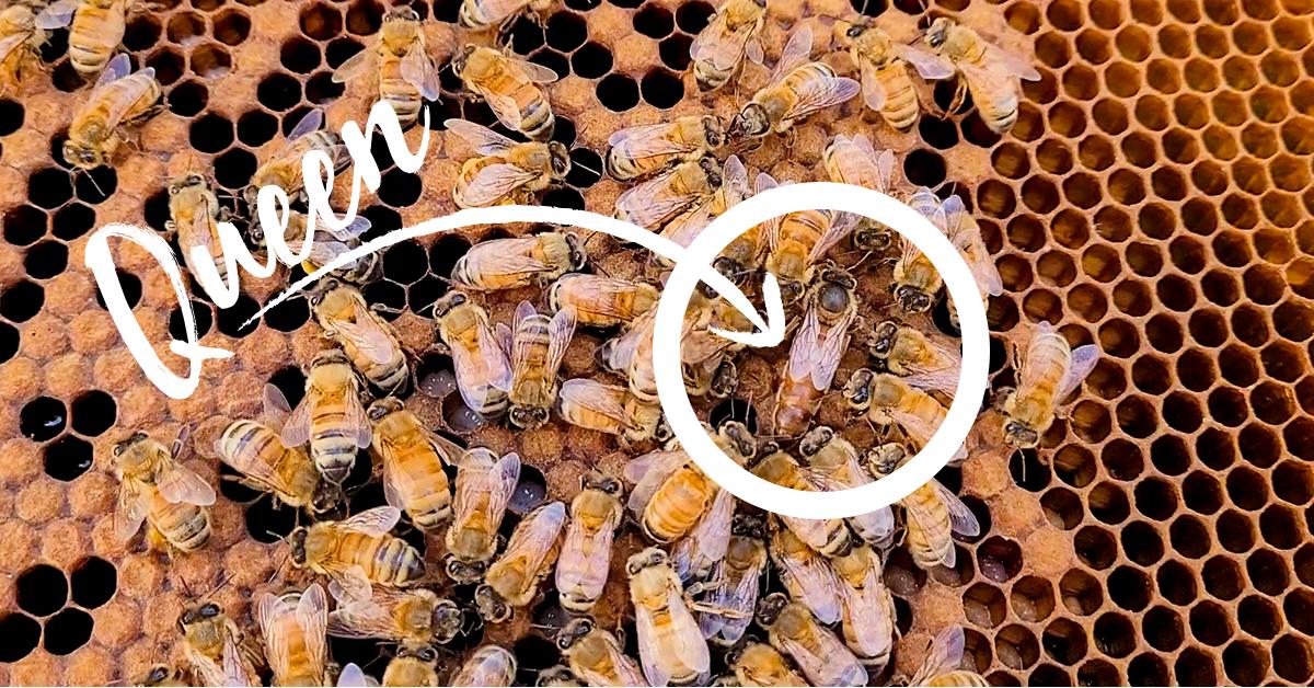 find the queen bee