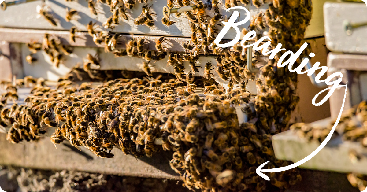 bees bearding on their hive