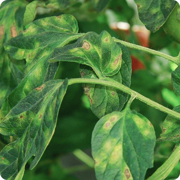 septoria leaf spot disease