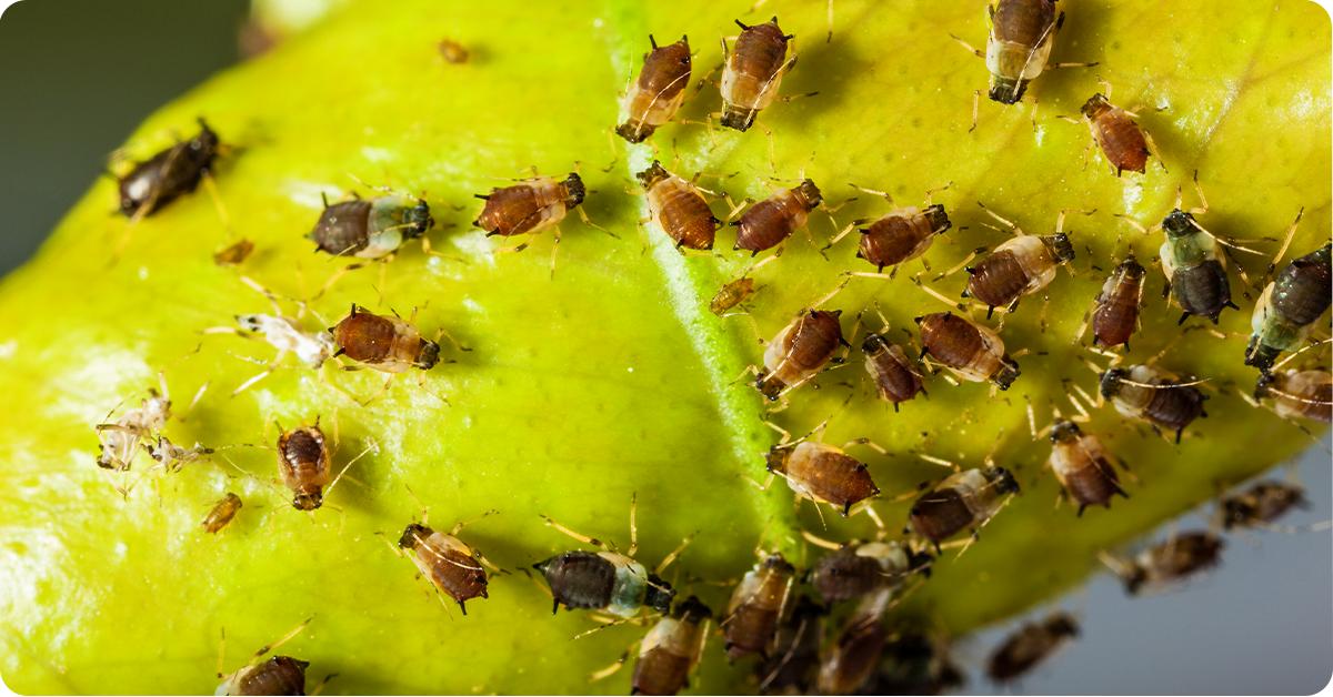 plants pests on yellow leaf