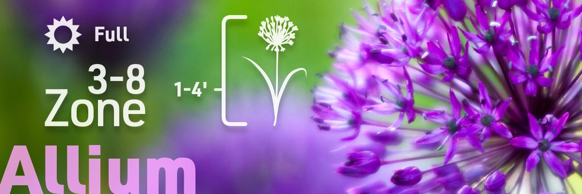 allium-flower-bulb-info
