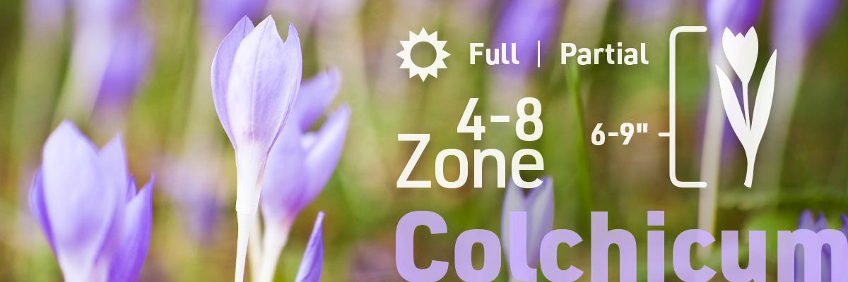 colchicum-flower-bulb-info