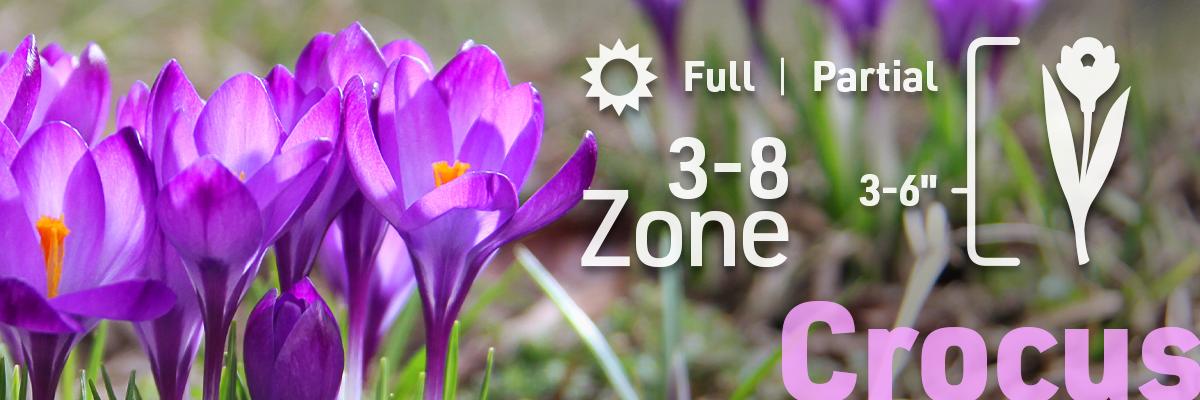 crocus-flower-bulb-info2-1