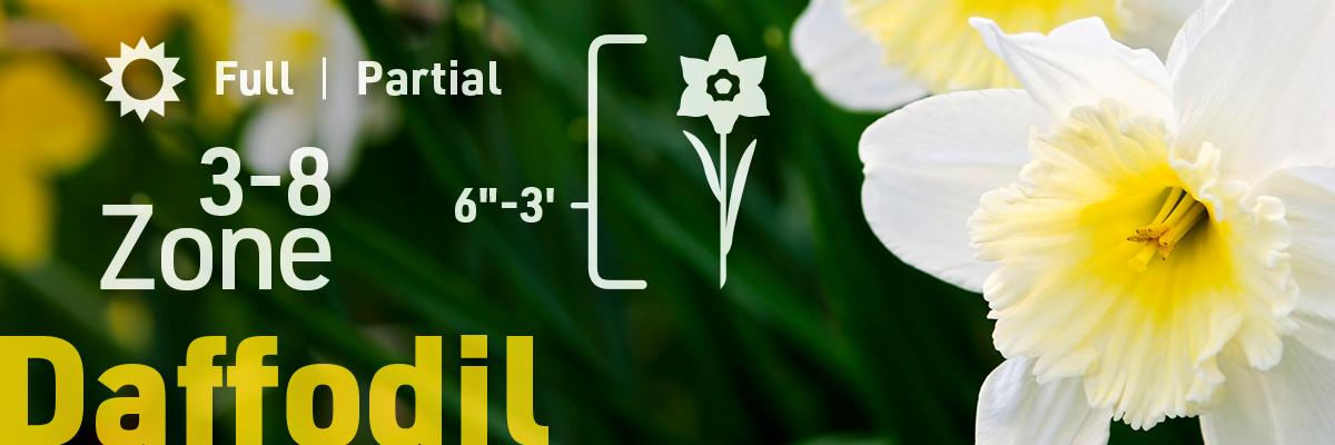 daffodil-flower-bulb-info