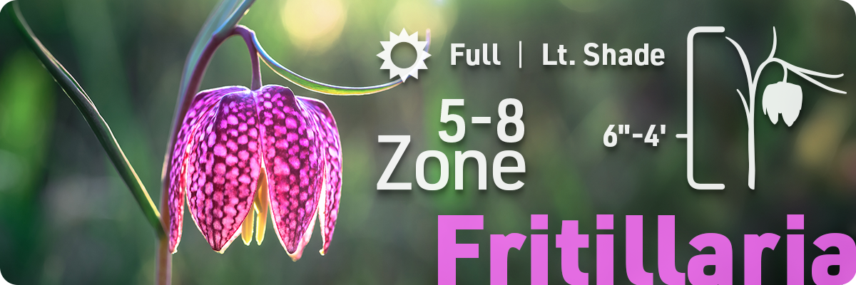 fritillaria-flower-bulb-info