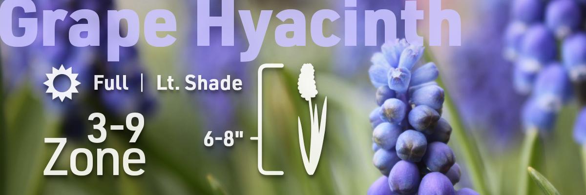 grape-hyacinth-flower-bulb-info-1