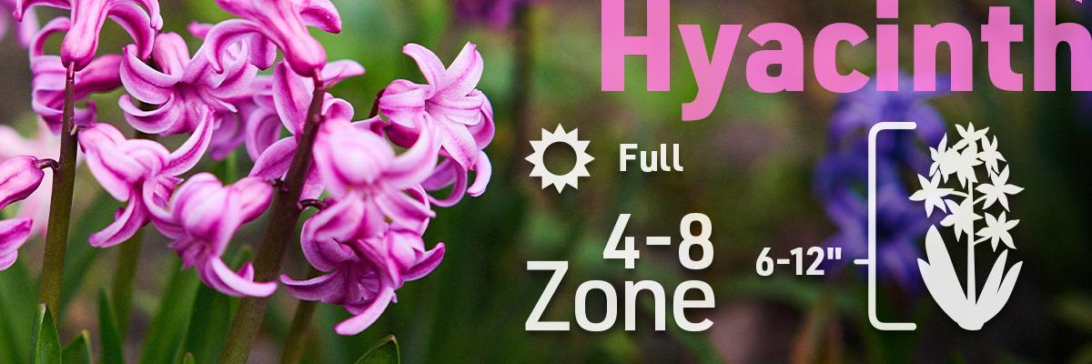 hyacinth-flower-bulb-info