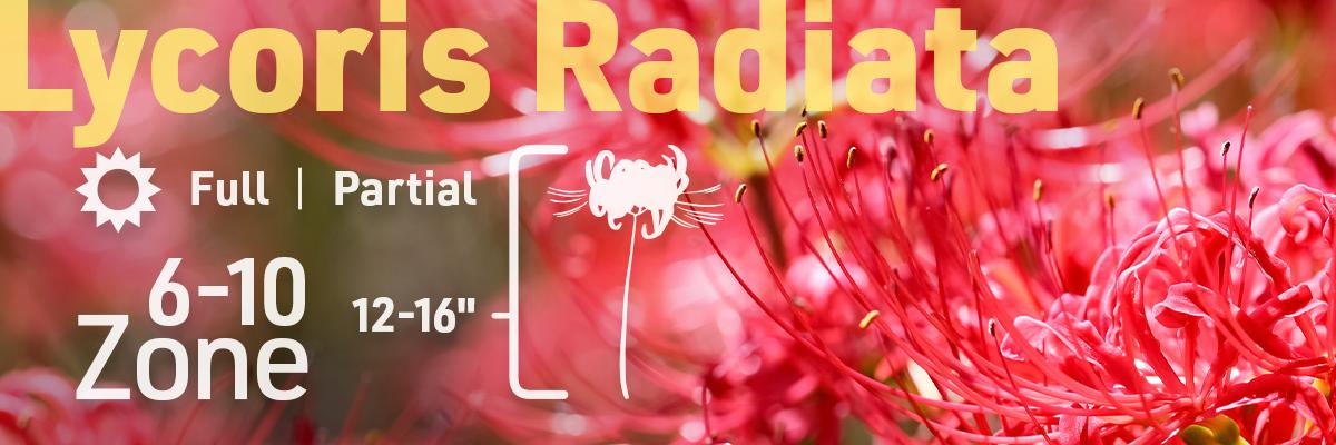 lycoris-radiata-flower-bulb-info