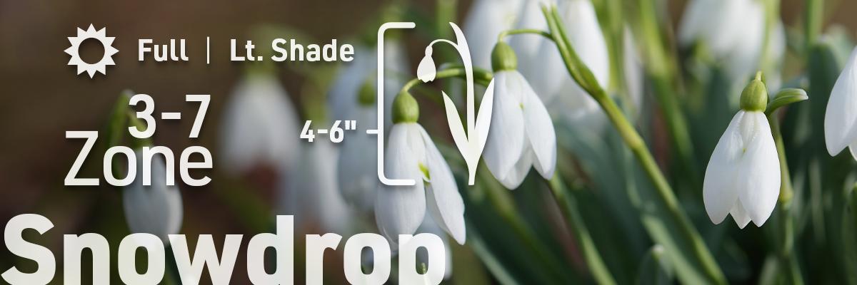 snowdrop-flower-bulb-info