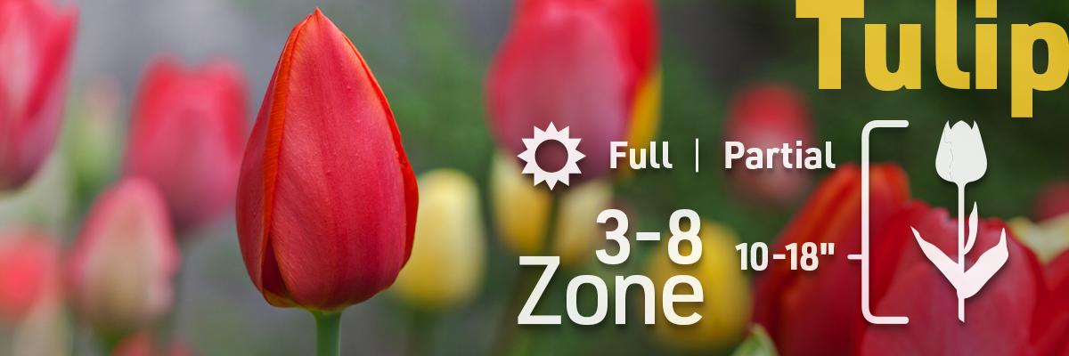 tulip-flower-bulb-info2