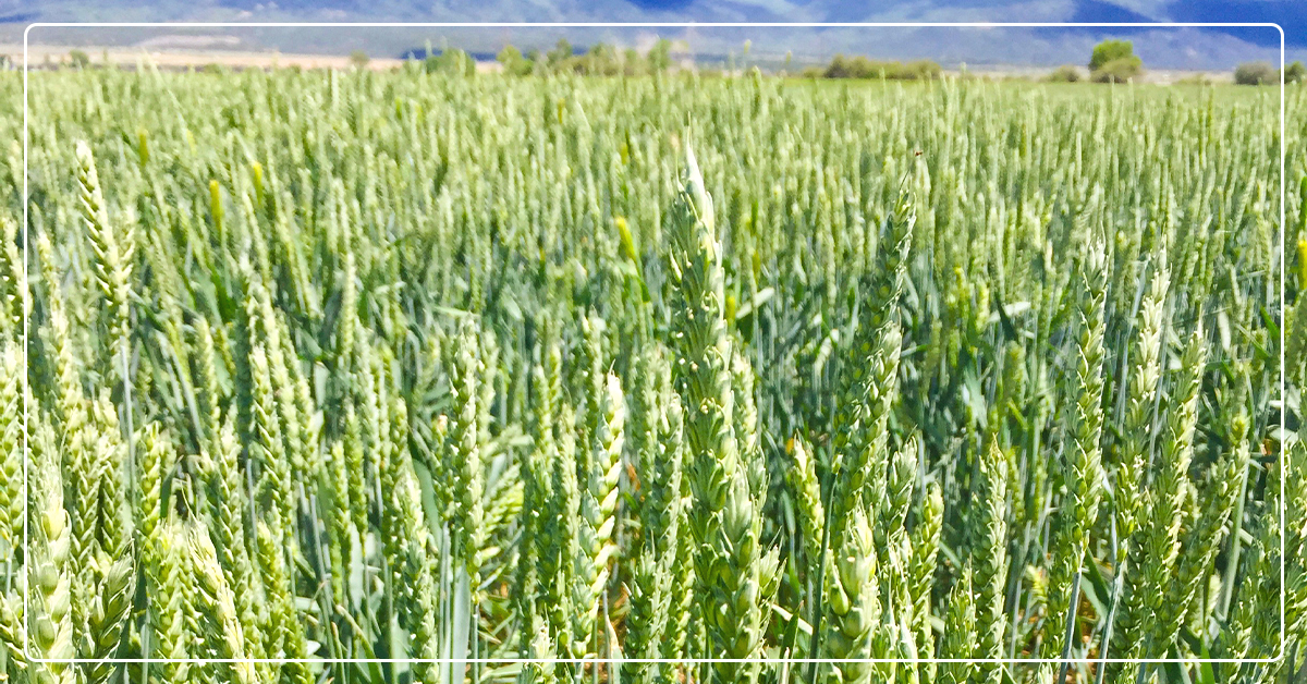 Fall Planting Opportunities and Benefits for Crop Producers