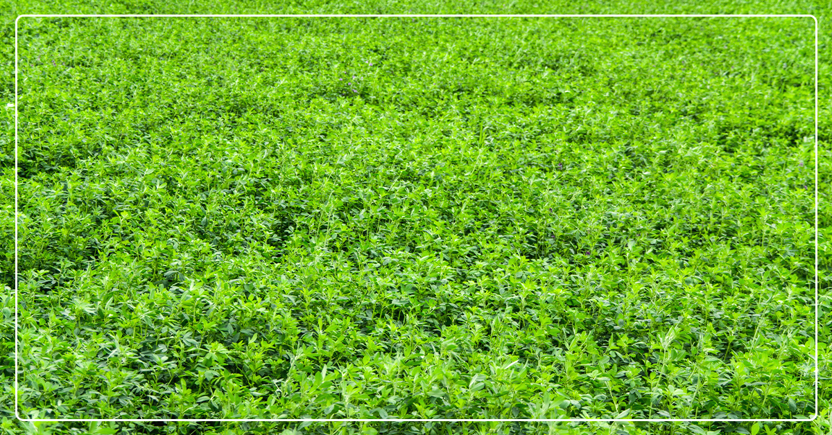 HarvXtra Alfalfa Product Enhances Digestibility and Weed Control