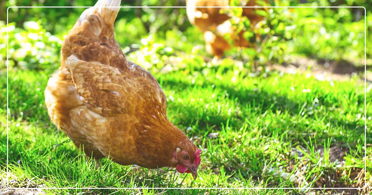 Easy Backyard Chickens
