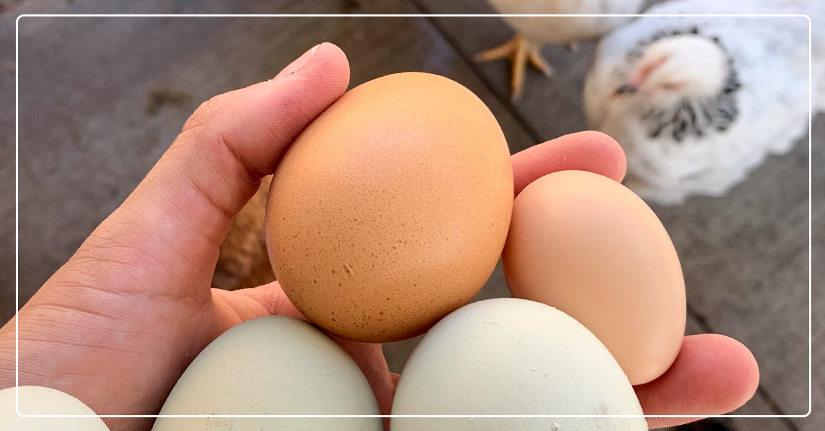 The Best Egg Laying Chickens: A Guide to Egg Production