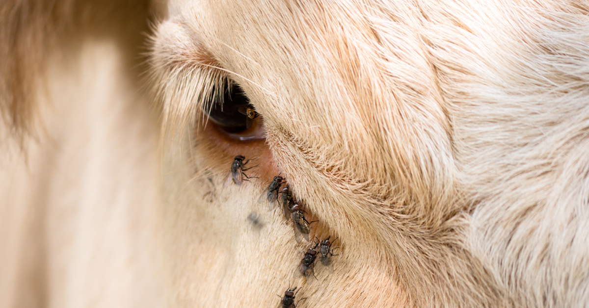Cattle Fly Control Methods & Strategies To Protect Your Herd