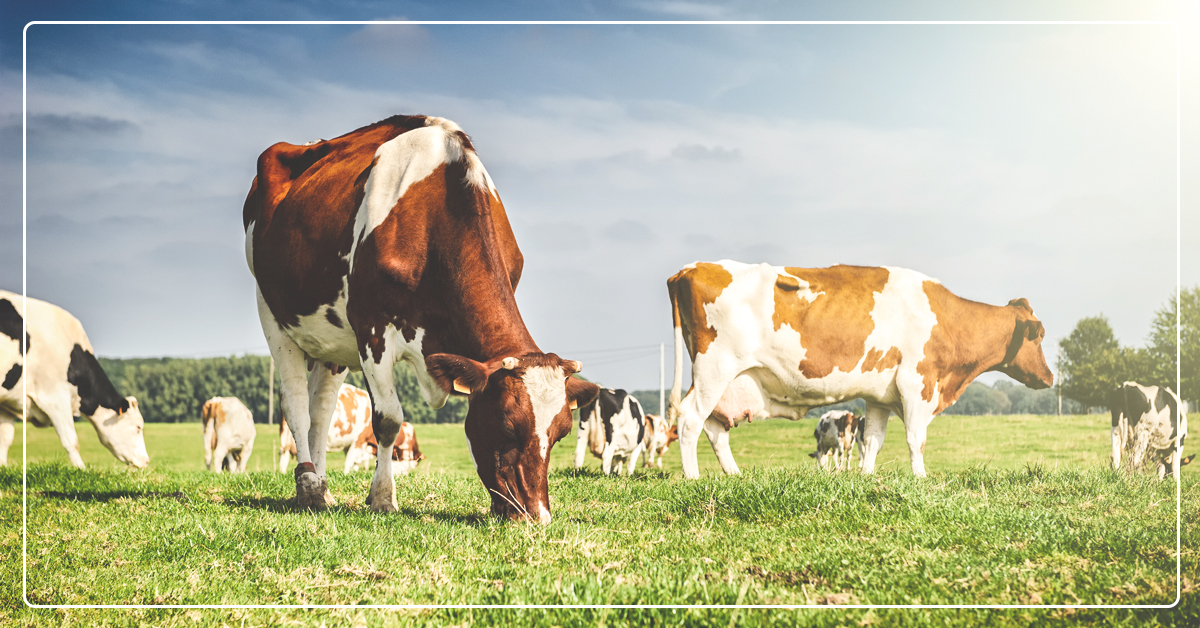 The Right Fiber and Forage for Dairy Cattle