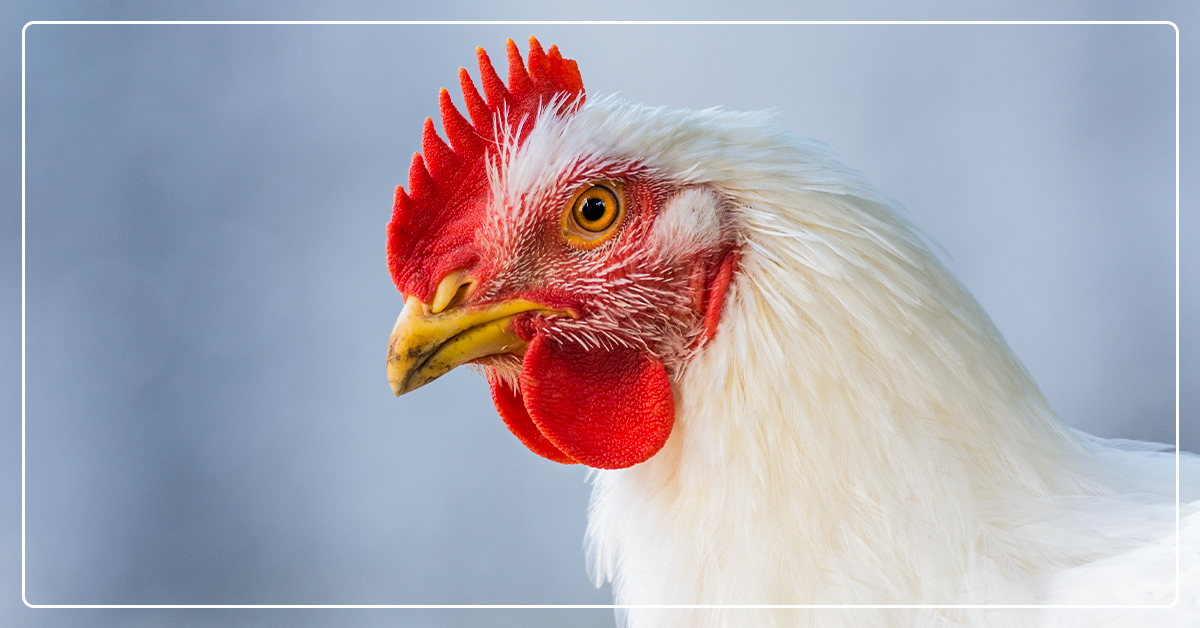 Why Your Chickens Need More Protein in Winter