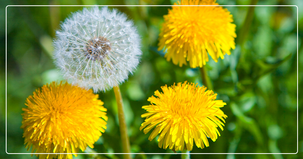 How to Identify & Control Lawn Weeds