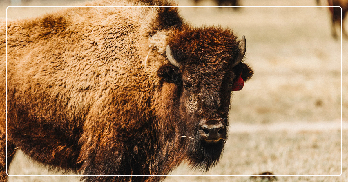 Wrangling the Beast: Bison Ranch Gets Help To Optimize Feed Rations
