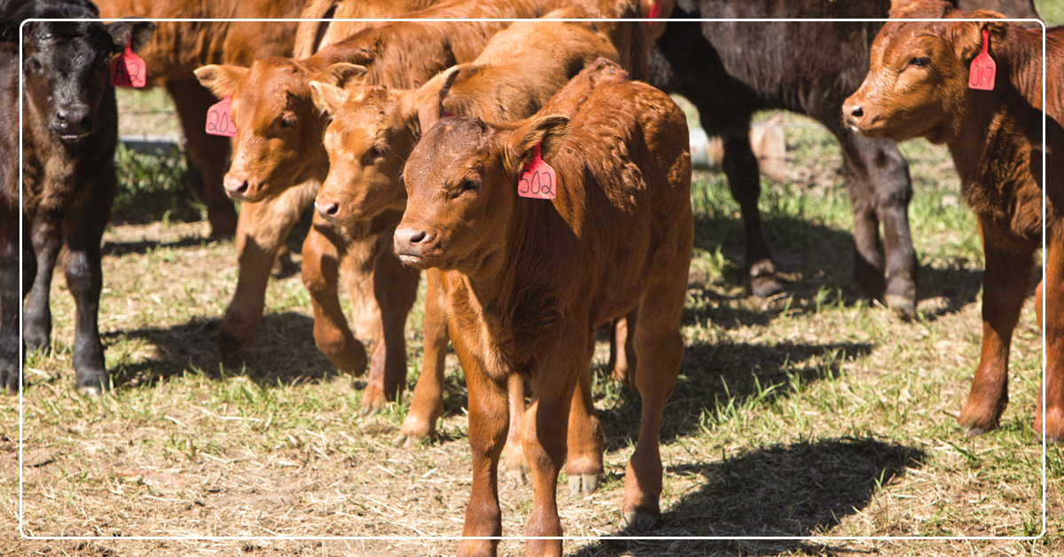 Reproductive Benefits of Omega-3 Fats in Beef Cattle