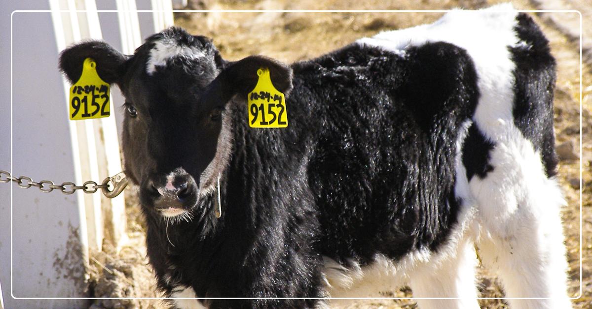 Understanding Calf Rumen Development