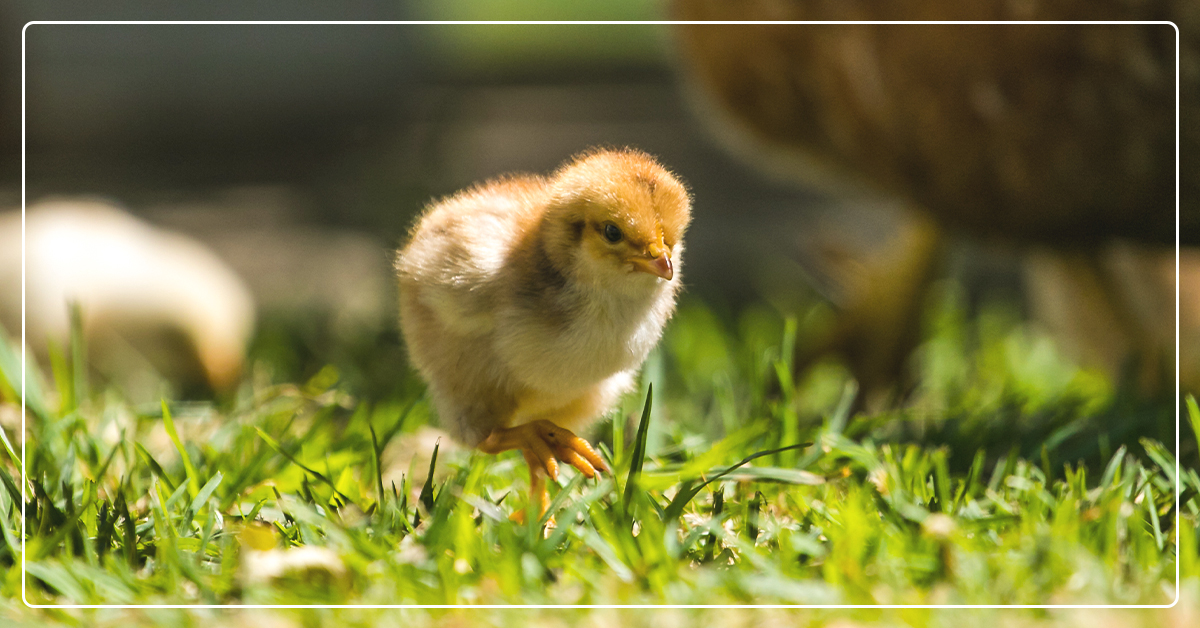 How to Start Raising Chickens in Your Own Backyard