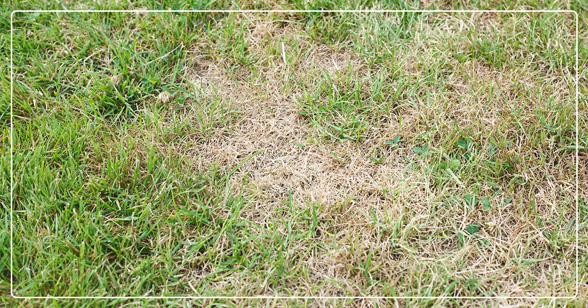 Dead Grass? Grub Worms May Be the Issue