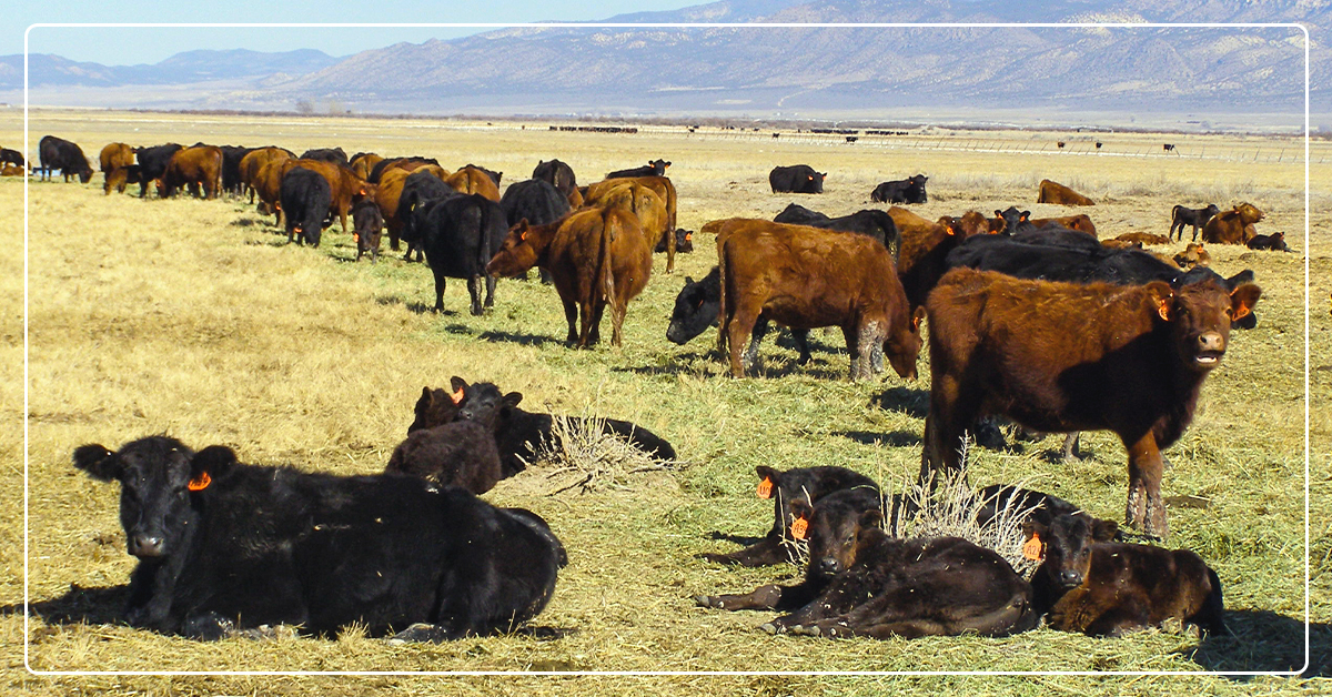 Internal Parasites in Beef Cattle and Their Impact on Nutrition