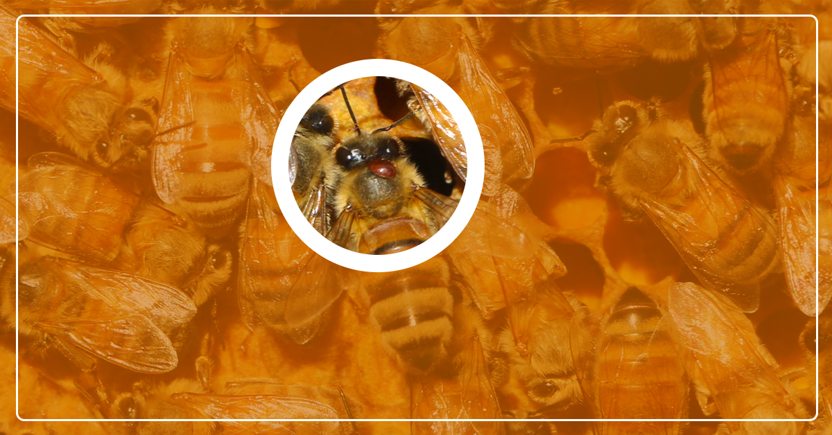 Controlling Varroa Mites in Your Beehive