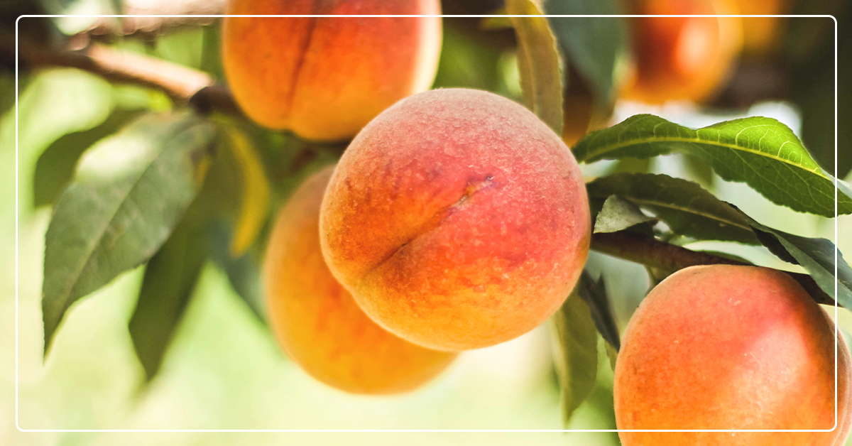 Pruning Different Types of Fruit Trees