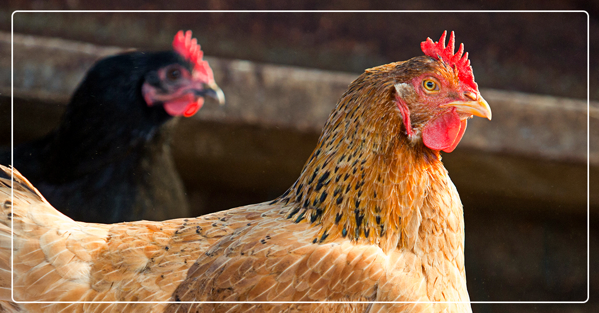 Daily Chicken Care: 5 Things to Do in Summer