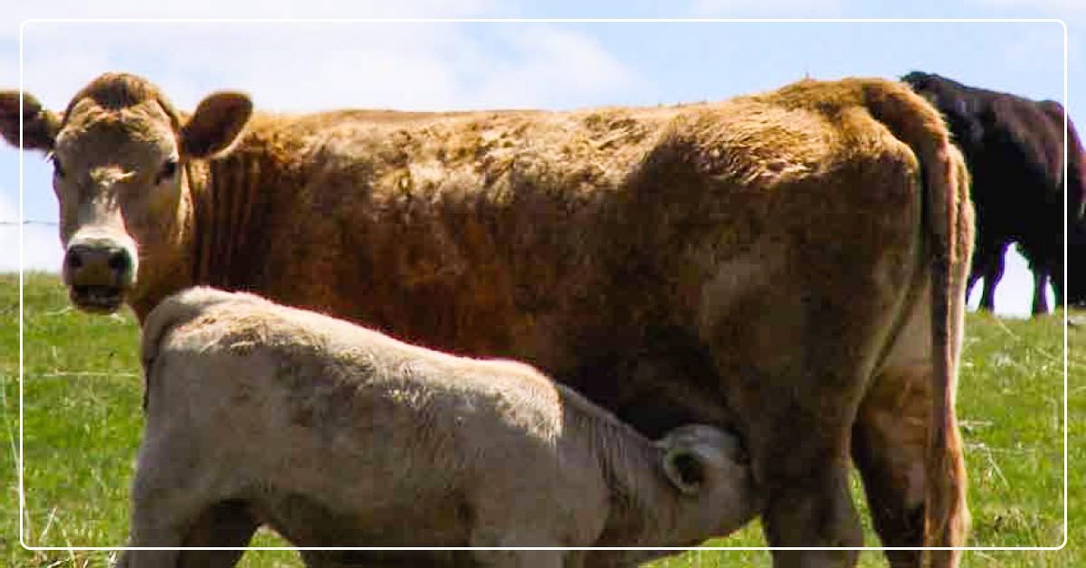 Preventing Summer Pneumonia in Cattle