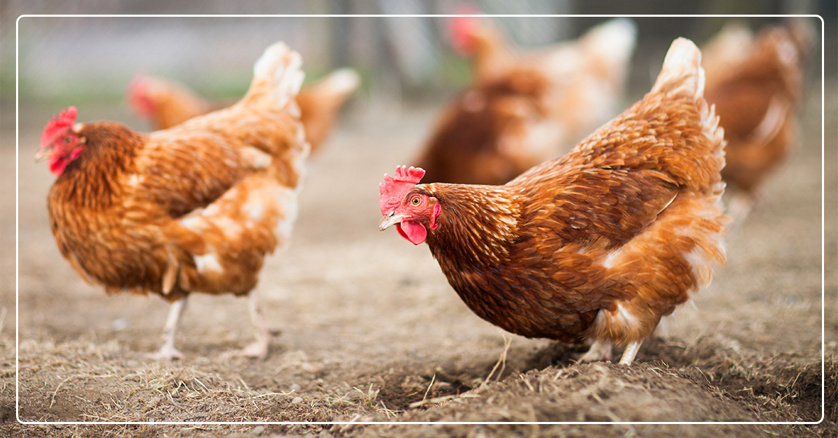 What To Feed Your Chickens From Chicks To Egg-Laying Hens